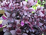 "ALTERNANTHERA - RUBY - 2 LIVE PLANTS - 2"" POTS"