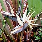 WHITE BIRD OF PARADISE STRELITZIA NICOLAI 10 seeds