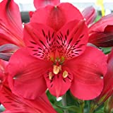 """Red Dwarf Alstroemeria Inca Bandit- Peruvian Lily - Princess Lily - 1 Lush Blooming Size Plant in 4"""" Container   Ships from Easy to Grow TM"""