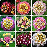 50 pcs/ bag, Lantana seeds, potted seed, flower seed, home garden free shipping