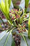1 Starter Plant of Aucuba Japonica Var. Longifolia - Longifolia Japanese Laurel