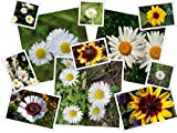 500 Daisy Seeds in Oopsie Daisies Flower Mix by RDR Seeds 10 Different Kinds of Daisies