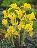 Danfordiae Dutch Iris