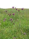 Seeds of Greater Knapweed - Centaurea Scabiosa - 300 Seeds Pack