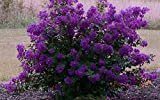 """PURPLE VELVET Miniature Crape Myrtle, 1 Plant, Darkest Purple Flower Available, Matures 4'-5' (6""""-1' Tall When Shipped, Well Rooted with Pots in Soil)"""