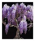 Bolusanthus speciosus - Tree Wisteria - 10 seeds