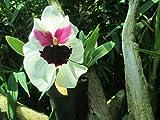 Miltoniopsis: Orchid