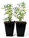 9GreenBox - Tuscan Blue Rosemary - 2 Pack