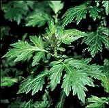 Magic Seed 200 Mugwort Seeds Artemesia Vulgaris