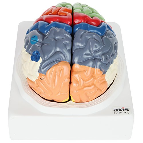 Axis Scientific Human Brain Model with Colored and Labeled Regions   2-Part Brain Includes Base and Full Color Product Manual   3 Year Warranty