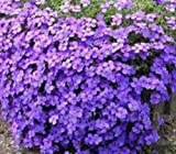 50+ AUBRIETA Lilac Purple Rock CRESS Flower Seeds/Perennial/Deer Resistant