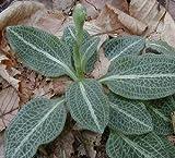 2 Live Downy Rattlesnake Plantain Jewel Orchid Plants For Fairy Garden, Terrarium, Garden