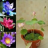 10 Seeds Dwarf Lotus Plant Aquatic Plant Mixed Colors