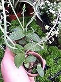 """LEDEBOURIA SCILLA PAUCIFLORA -(GREEN, WIDE-LEAF SQUILL) - 2 1/4"""" SUCCULENT PLANT"""