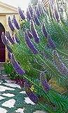 Beautiful Giant Echium Candicans Seeds Flower Seeds