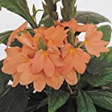 Outsidepride Crossandra Tropic Flame - 15 Seeds