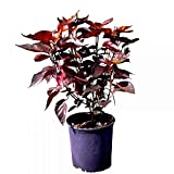 PlantVine Acalypha wilkesiana, Copperleaf - Large - 8-10 Inch Pot (3 Gallon), Live Plant - 4 Pack