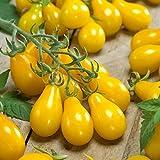 Burpee 'Yellow Pear' Heirloom   Yellow Pear Tomato   150 Seeds