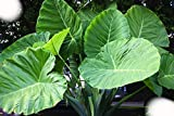 Thailand Giant Colocasia / Elephant Ear / Taro LARGE 1 GALLON SIZE