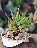 """4"""" Zebra plant Haworthia reinwardtii rare Green crassula Cactus succulent"""