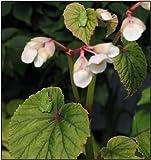 1 Starter of Begonia Grandis - Begonia Evansiana 'Grandis'