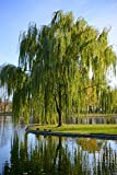 (1 Gallon) WEEPING WILLOW TREE, drooping branches give the tree a distinctive shape. Great for use as a focal point and in areas that are moist.