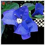 Tantara- A Package 100 Pieces Seeds Unique Blue Bougainvillea Spectabilis Seeds Perennial Bonsai Plant Flower Seeds