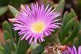 Carpobrotus Aequilaterus @J@ Rare Mesembryanthemum Exotic mesembs Seed 50 Seeds