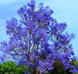 """Blue Jacaranda Tree Potted Plant,Starter Potted Plant 2-4"""" Tall"""