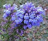 500 GREAT BLUE LOBELIA Lobelia Siphilitica Flower Seeds