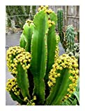 Euphorbia ingens - Cowboy Cactus - 5 seeds