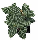 """Parallel Peperomia puteolata - 4"""" Pot - Easy to Grow House Plant"""