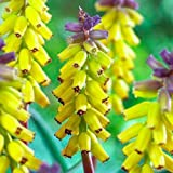 'Yellow Fragrance' Grape Hyacinth - 4 Bulbs - Muscari - 9/+ cm Bulbs