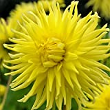 Cactus Dahlia Yellow Star - 3 Bulbs - Semi-Cactus Form - Huge Blooms in Summer | Ships from Easy to Grow