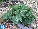 USA SELLER Sea Kale seeds HEIRLOOM NON GMO