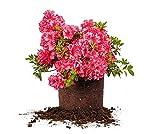 RED Ruffles Azalea - Size: 1 Gallon, Live Plant, Includes Special Blend Fertilizer & Planting Guide