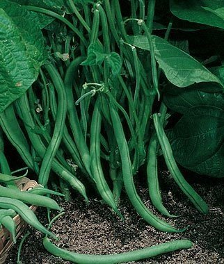 David's Garden Seeds Bean Bush Contender SL1988 (Green) 100 Non-GMO, Heirloom Seeds
