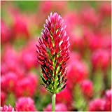 Package of 4,000 Seeds, Crimson Clover (Trifolium incarnatum) Open Pollinated Seeds by Seed Needs