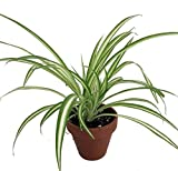 """Ocean Spider Plant - 4"""" Clay Pot for Better Growth - Cleans The Air/Easy to Grow"""