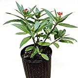 Educational Science Milkweed Plant, Asclepias curassavica, live plant, Ship ASAP, BF100A