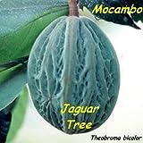~MACOMBO~ Theobroma bicolor WHITE CACAO TREE the JAGUAR TREE LIVE Medium PLANT