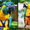 The AVIATOR Pet Bird Harness and Leash 4