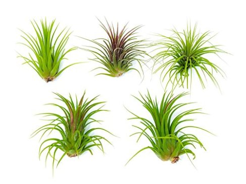 Live plants that you can buy on Amazon | | Secret Roomz