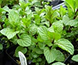 "Spearmint Herb Plant - Very Fragrant - Mentha - 3.5"" Pot"