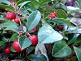 Wintergreen Plant - Gaultheria - Teaberry - Aromatic Leaves - 4 Pot by Hirts: Trees & Shrubs