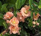 Cameo Flowering Quince (chaenomeles) - Live Plant - Trade Gallon Pot