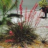 Red Yucca Hesperaloe parviflora 10 seeds