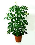 NIKITOVKASeeds - Octopus Tree - 10 Seeds - Organically Grown - NON GMO