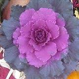 Flowering Cabbage 50 Seeds Pigeon Purple flowering kale ornamental kale