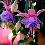 100Pcs/Lot Fuchsia Hybrida Hort Seeds Bonsai Lantern Flowers For DIY Garden Home Flores Semillas Potted Colorful Flower